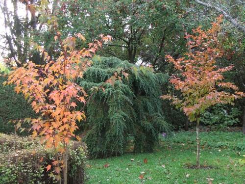 Acer tschonoskii and Stewartia pseudocamellia