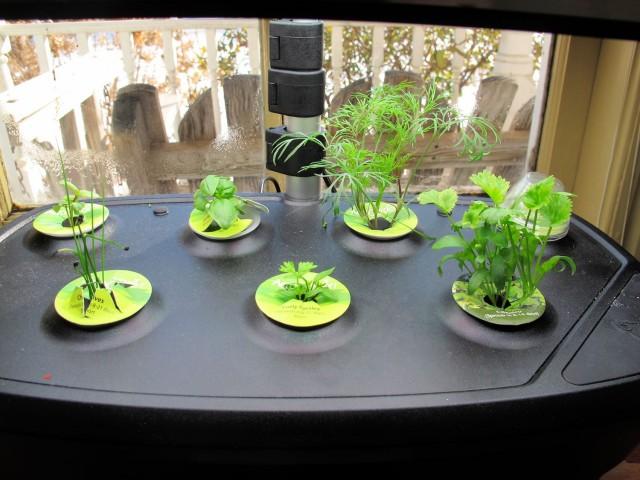 AeroGarden herb seedlings