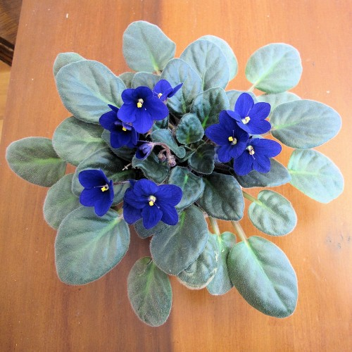 humble African violet