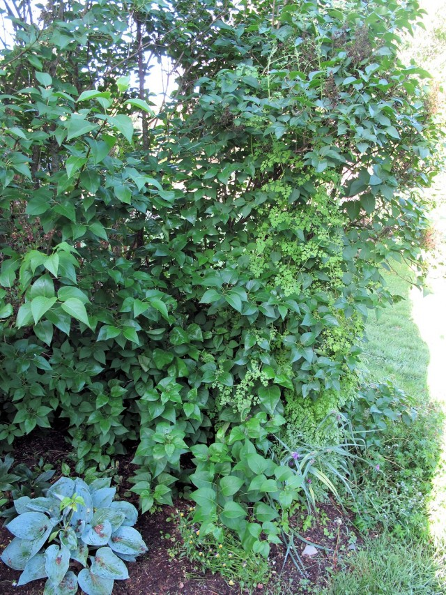 Allegheny vine climbing lilac