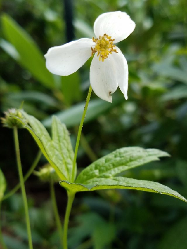 Anemone canadensis, Canada anemone