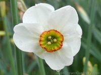 Angel Eyes narcissus