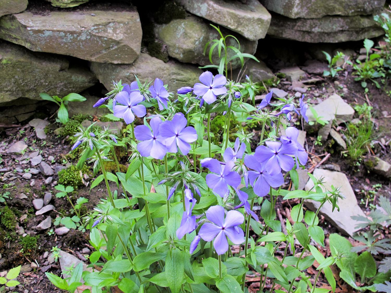Woodland Phlox Knocks My Socks Off Wildflower Wednesday