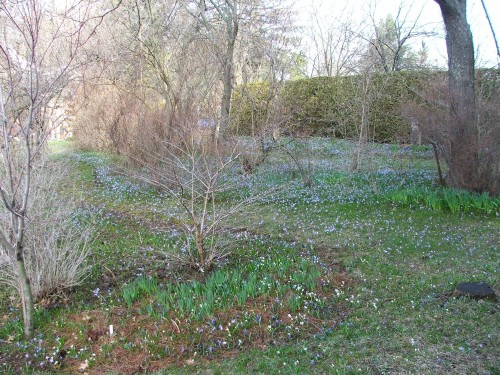 "The ""blue haze"" of scilla and chionodoxa at Lilactree Farm"