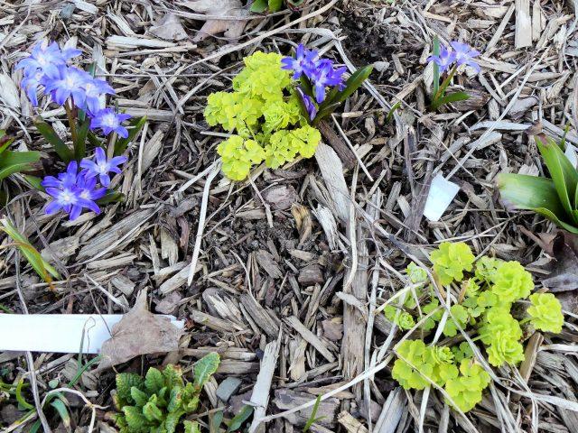 Blue mound chionodoxa and heart of gold columbine