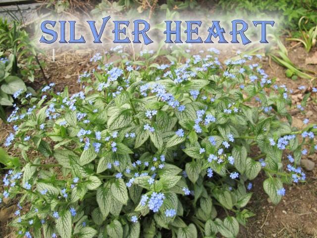 Brunnera Silver Heart
