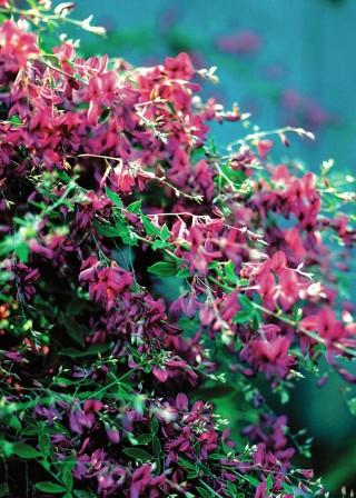 lespedeza bush clover