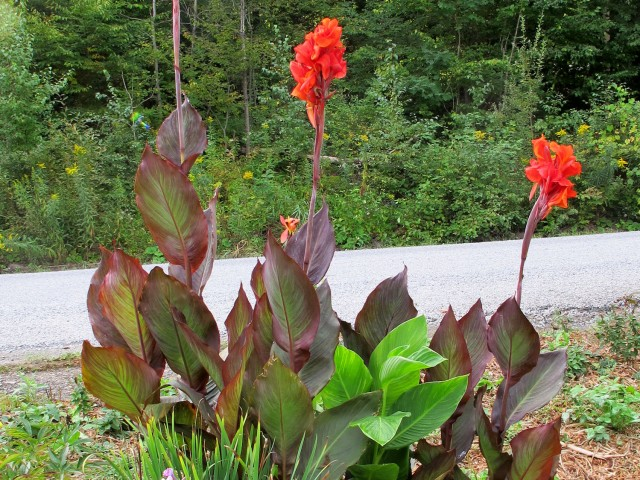 red and green leaved cannas
