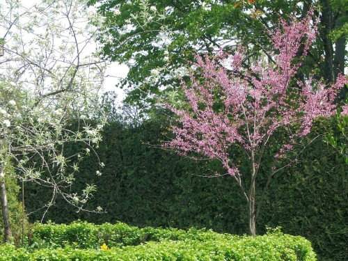 Cercis canadensis and Pyrus salicifolia