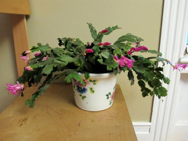 Christmas cactus reblooming