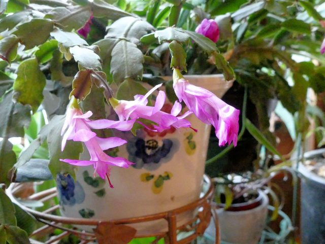 Christmas cactus third flush of bloom