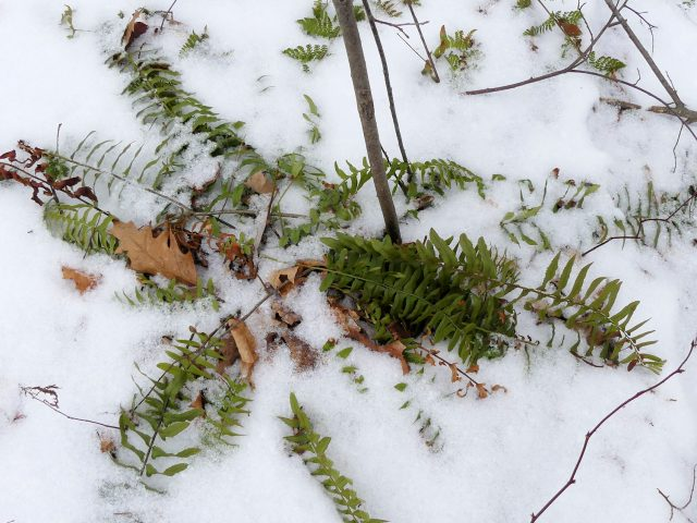 Christmas fern in the snow