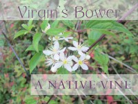 Clematis virginiana featured image