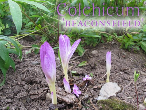 'Beaconsfield' just may be my most deeply colored colchicum