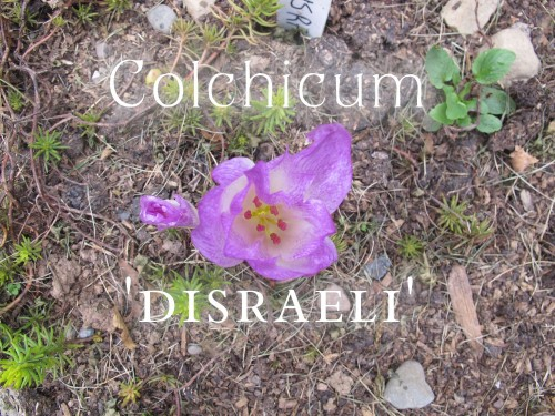Colchicum Disraeli is strongly checkered