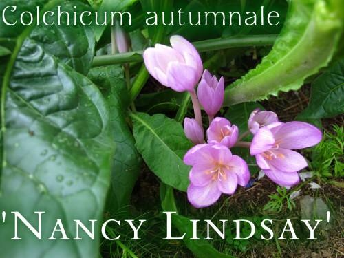 Colchicum Nancy Lindsay