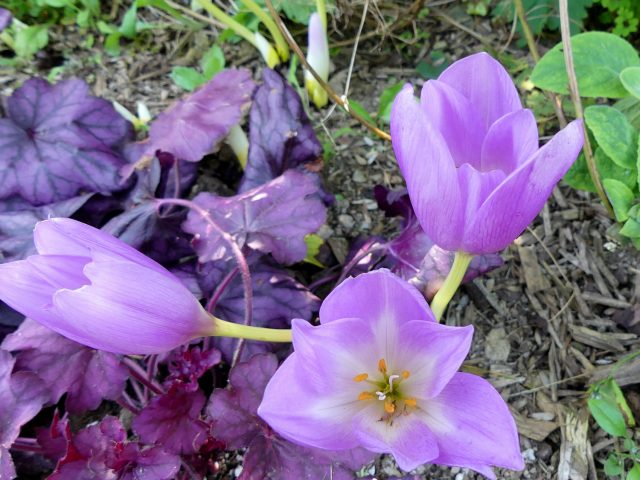 Colchicum TBD close up