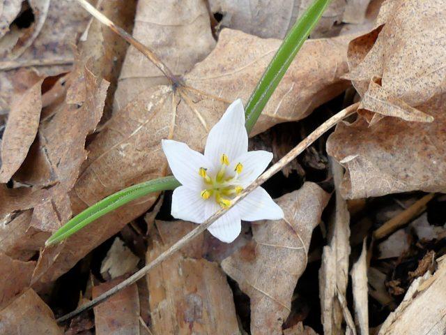 Colchicum Velebit Star
