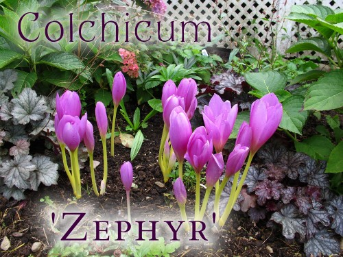 Colchicum Zephyr