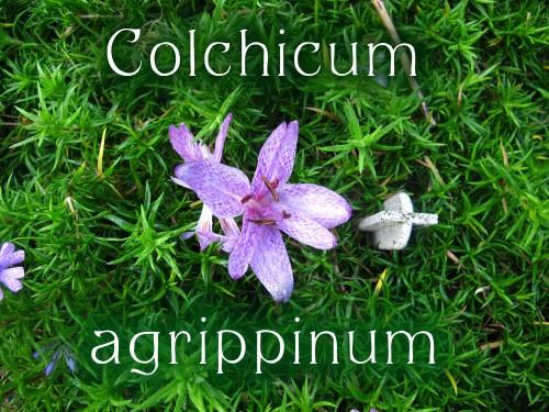 Colchicum agrippinum