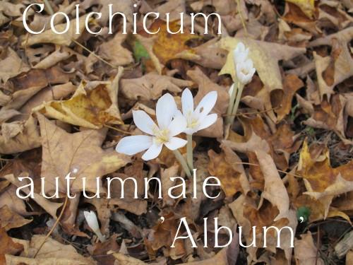 Colchicum autumnale Album