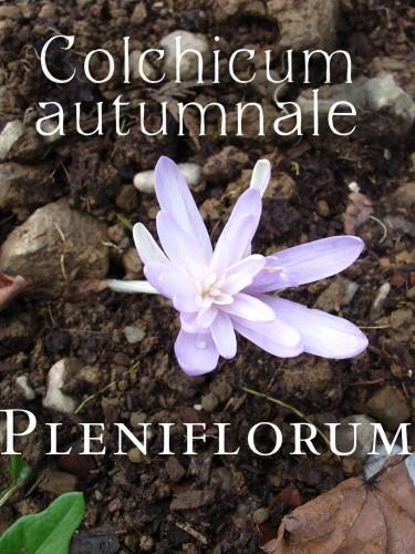Colchicum autumnale 'Pleniflorum'