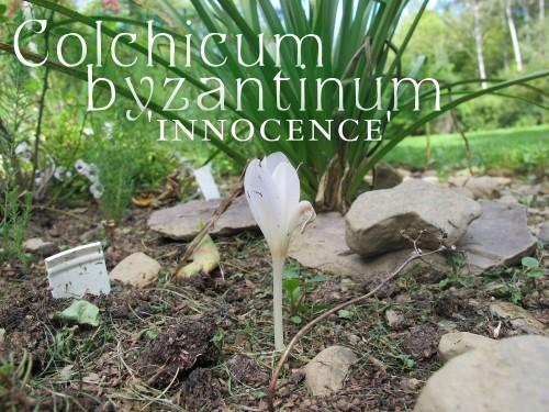 Colchicum byzantinum 'Innocence'
