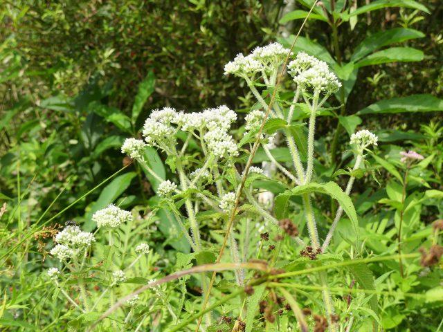 Common boneset - Eupatorium perfoliatum