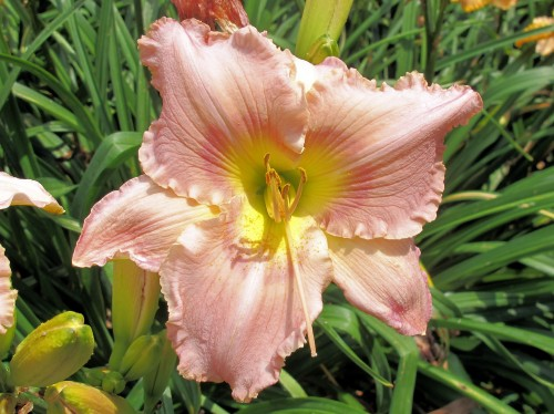 Corinthian Pink daylily