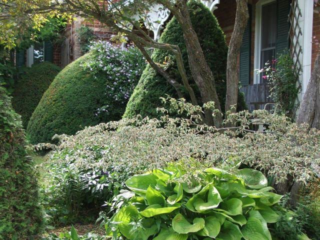 Lilactree Farm, Cornus alternifolia Variegata and Hosta Sum and Substance
