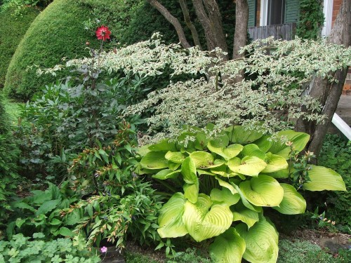 Cornus alternifolia 'Argentea' above Hosta 'Sum and Substance'