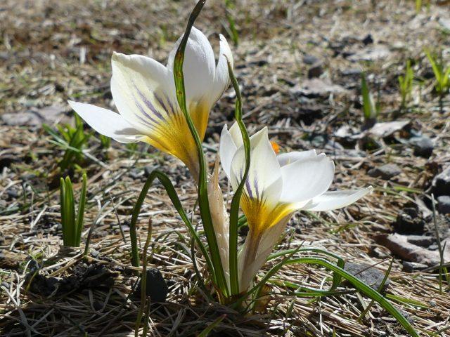 Crocus chrysanthus Snow Bunting