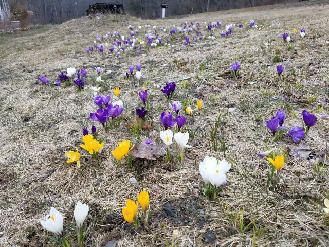 Crocus in the lawn grass
