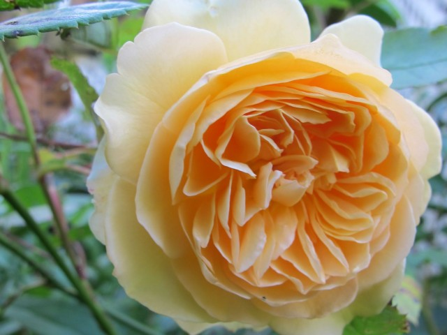 Crown Princess Margareta, a David Austin rose