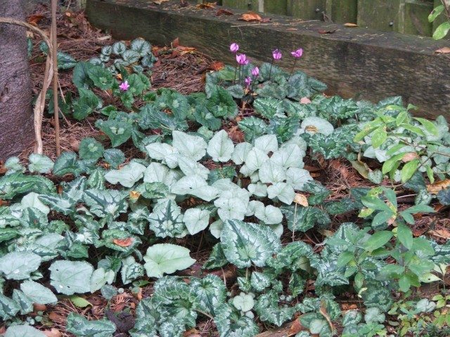 Cyclamen hederifolium has wonderfully diverse leaf markings.