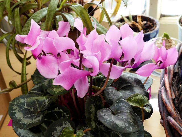 florist's cyclamen