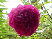 Darcey Bussell rose