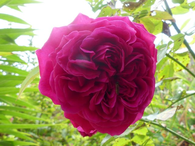 Darcey Bussell David Austin rose
