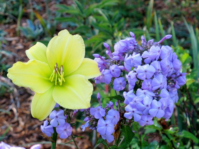 Daylily and phlox