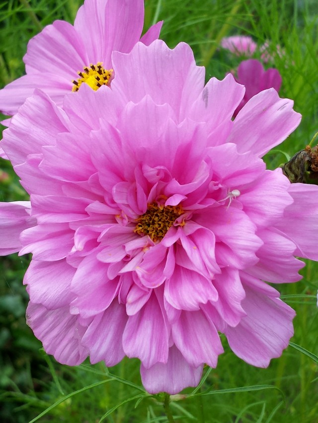 Double Click Pink Cosmos