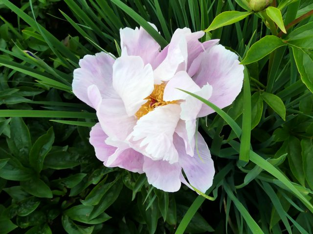 Early Daybreak peony half closed