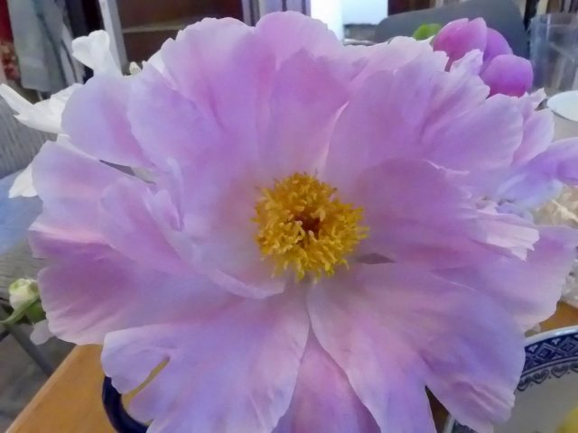 possibly Early Daybreak peony