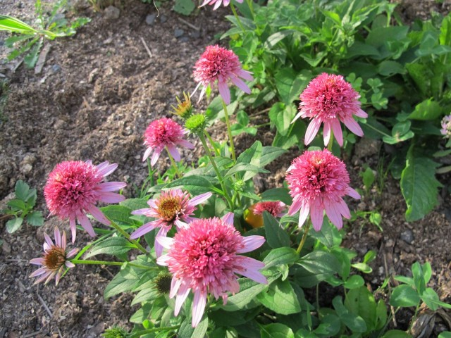 Dwarf form of echinacea 'Butterfly Kisses'