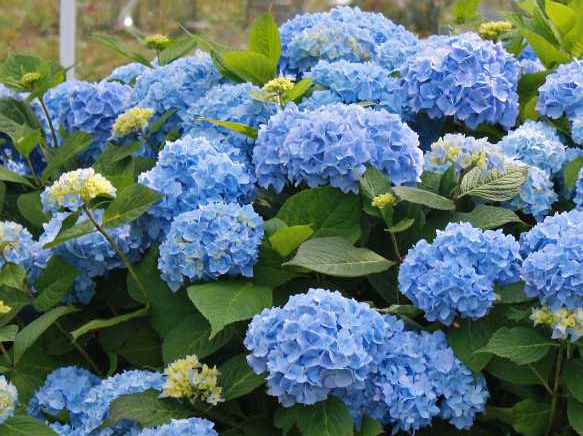Original Endless Summer hydrangea