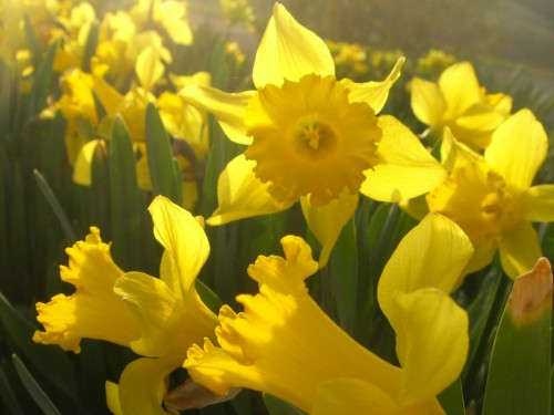 Daffodils photographed in evening light