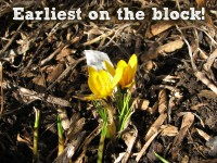 Featured image earliest bloom