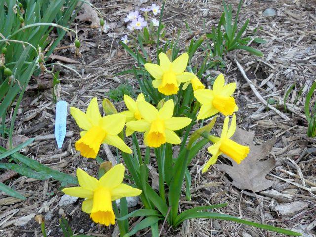 February gold daffodil