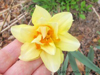 Feu de Joie daffodil
