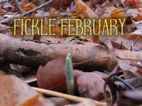 Fickle February featured image