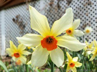 Firebird daffodil